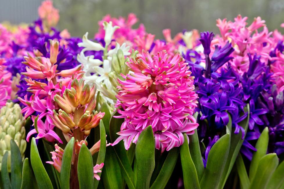 1745888-img-hyacint-kvetiny-krasa-dekor-zahrada