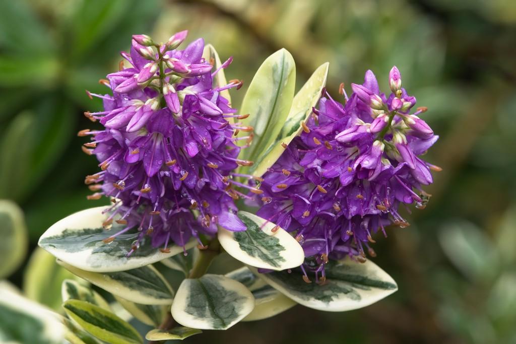 Scrophulariaceae_hebe_'waireka'