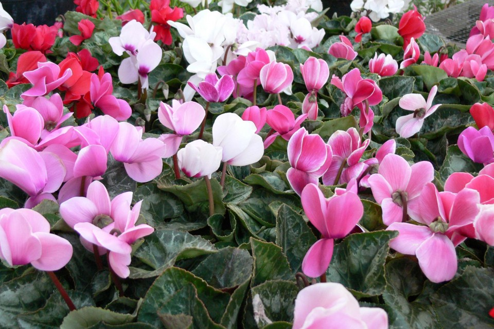 bedding_fall_winter_cyclamen_hybrids