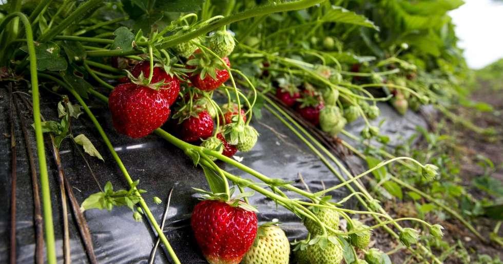 jordbæråker