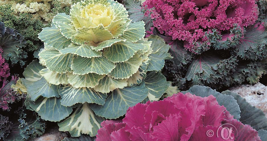 EM_FE_01939_Brassica_oleracea