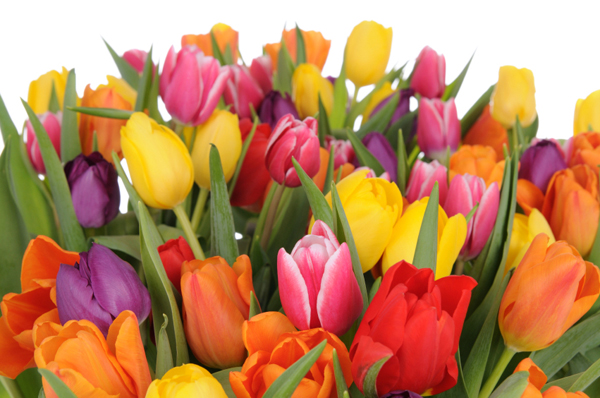 tulipaner